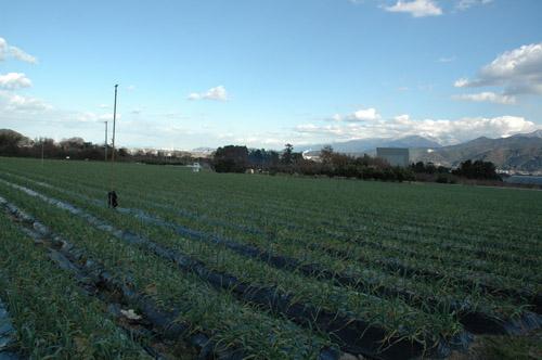 にんにくの圃場も見てきました。順調に育っています