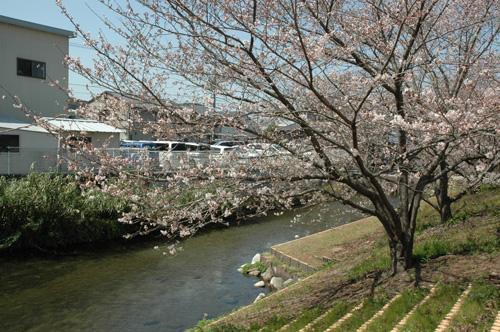 泉に沿うソメイヨシノ
