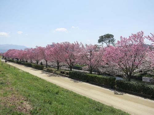 陽光とソメイヨシノで桜が約160本植えられています